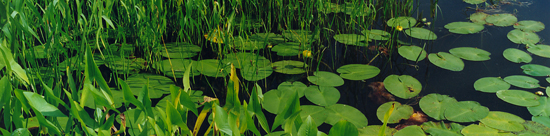 Photo of wetland plants and water