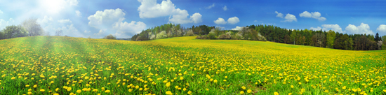 photo of field with yellow dandylions